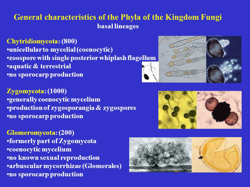 General characteristics of the Phyla of the Kingdom Fungi basal lineages Chytridiomycota: (800) unicellular to mycelial (coenocytic) zoospore with single posterior whiplash flagellum aquatic & terrestrial no sporocarp production Zygomycota: (1000) generally coenocytic mycelium production of zygosporangia & zygospores no sporocarp production Glomeromycota: (200) formerly part of Zygomycota coenocytic mycelium no known sexual reproduction arbuscular mycorrhizae (Glomerales) no sporocarp production