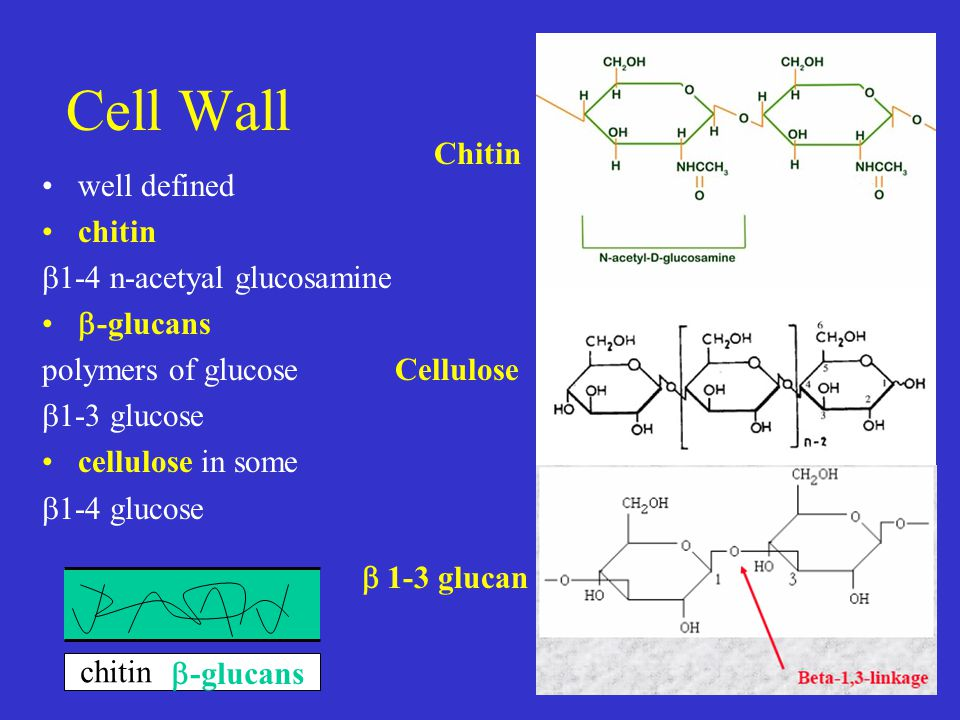 Cell Wall well defined chitin  1-4 n-acetyal glucosamine  -glucans polymers of glucose  1-3 glucose cellulose in some  1-4 glucose chitin  -glucans Chitin Cellulose  1-3 glucan