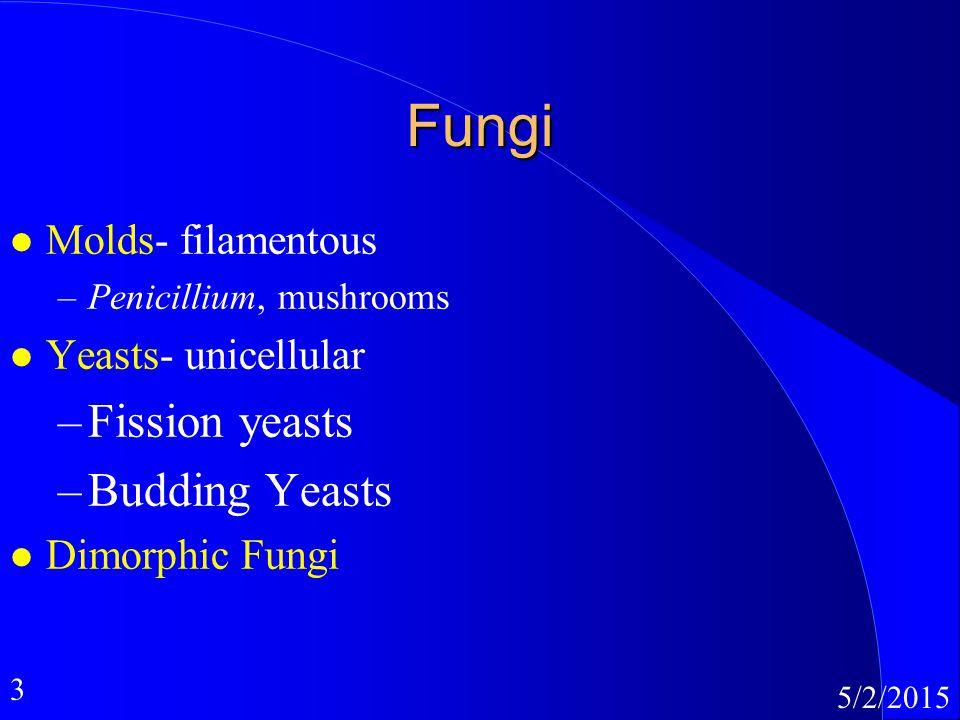 3 5/2/2015 Fungi l Molds- filamentous –Penicillium, mushrooms l Yeasts- unicellular –Fission yeasts –Budding Yeasts l Dimorphic Fungi