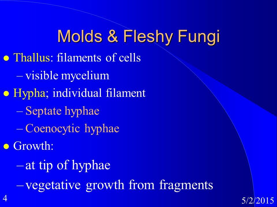 4 5/2/2015 Molds & Fleshy Fungi l Thallus: filaments of cells –visible mycelium l Hypha; individual filament –Septate hyphae –Coenocytic hyphae l Grow