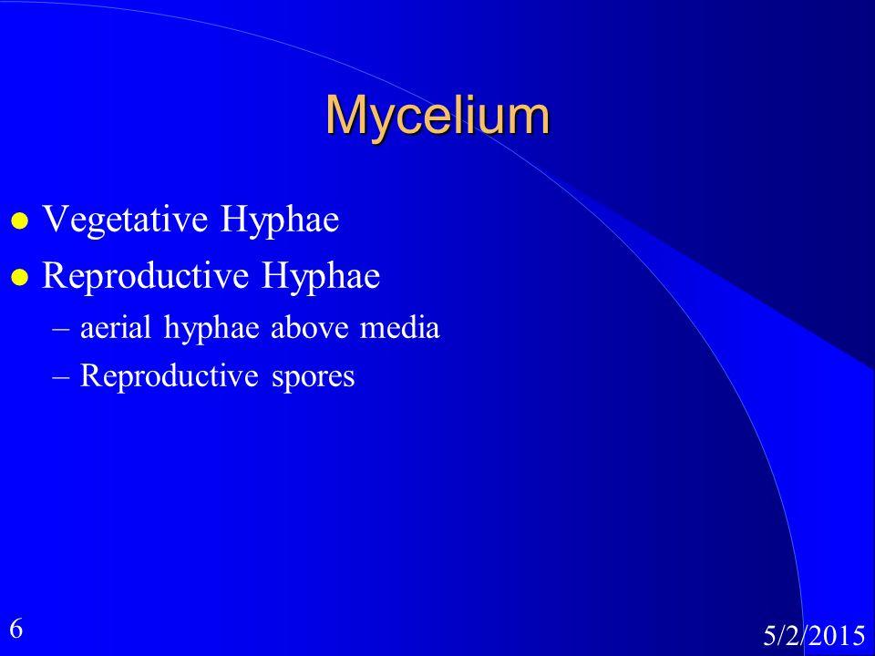 6 5/2/2015 Mycelium l Vegetative Hyphae l Reproductive Hyphae –aerial hyphae above media –Reproductive spores