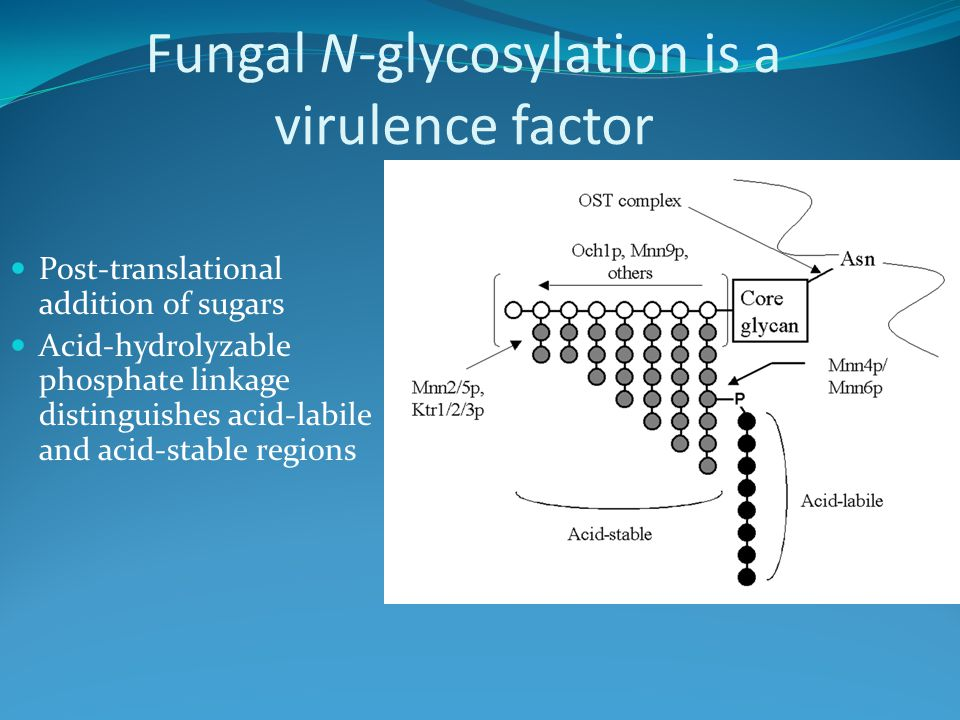 Fungal N-glycosylation is a virulence factor Post-translational addition of sugars Acid-hydrolyzable phosphate linkage distinguishes acid-labile and acid-stable regions