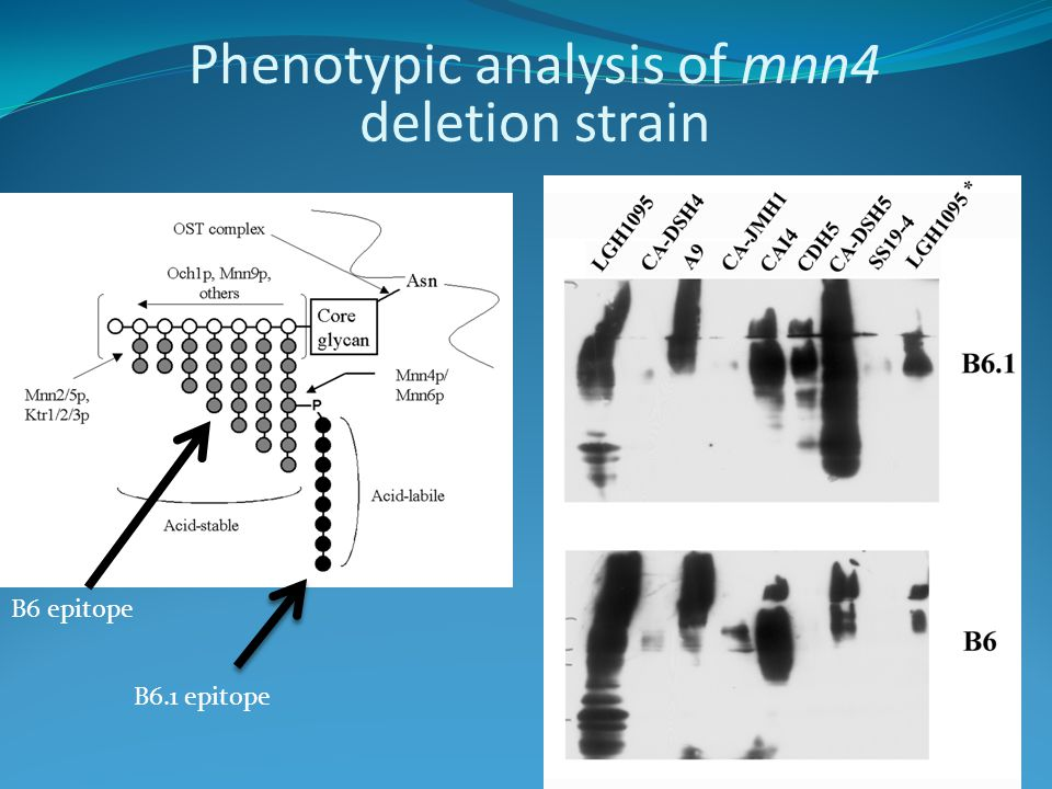 B6.1 epitope B6 epitope Phenotypic analysis of mnn4 deletion strain