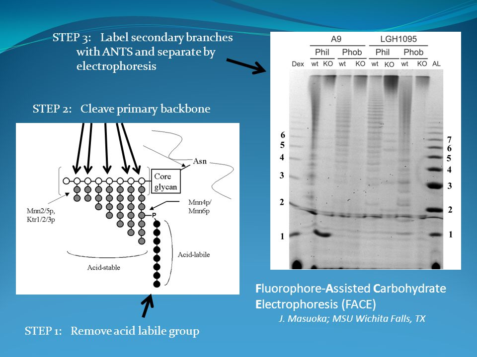 Fluorophore-Assisted Carbohydrate Electrophoresis (FACE) J. Masuoka; MSU Wichita Falls, TX STEP 1: Remove acid labile group STEP 2: Cleave primary bac