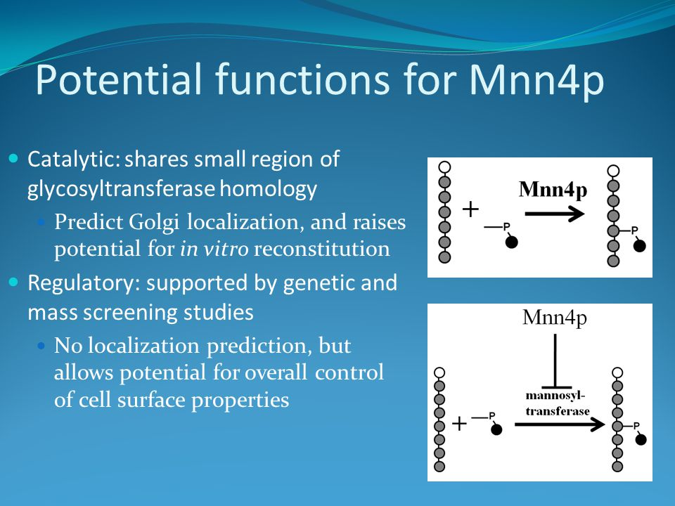 Potential functions for Mnn4p Catalytic: shares small region of glycosyltransferase homology Predict Golgi localization, and raises potential for in vitro reconstitution Regulatory: supported by genetic and mass screening studies No localization prediction, but allows potential for overall control of cell surface properties