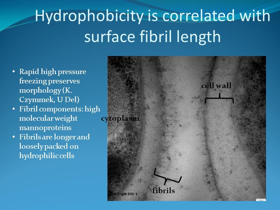 Hydrophobicity is correlated with surface fibril length Rapid high pressure freezing preserves morphology (K. Czymmek, U Del) Fibril components: high