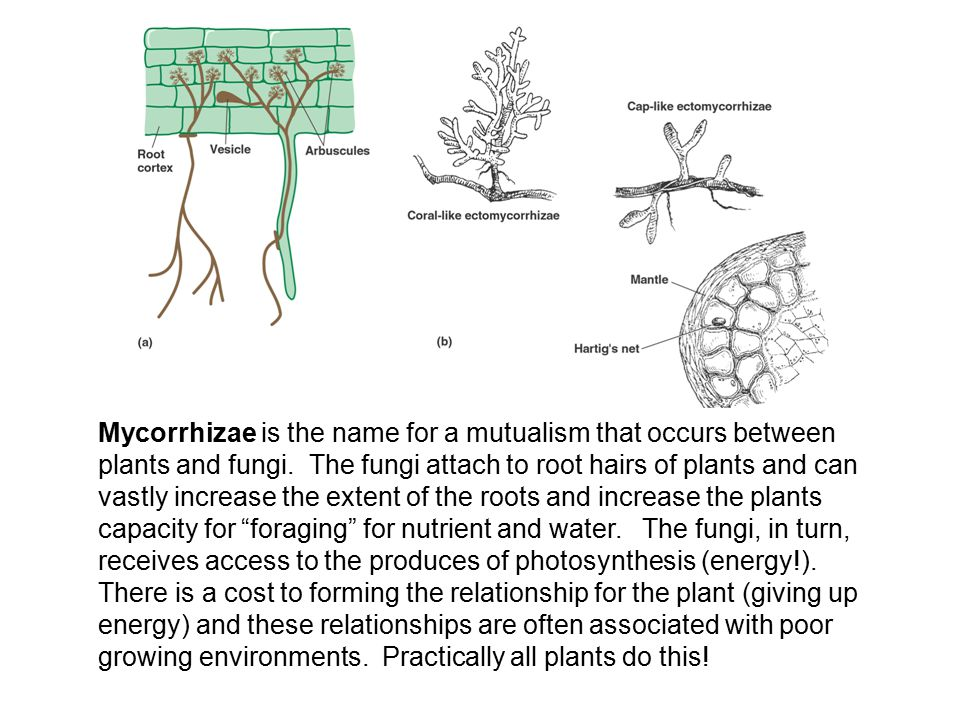 Mycorrhizae is the name for a mutualism that occurs between plants and fungi.
