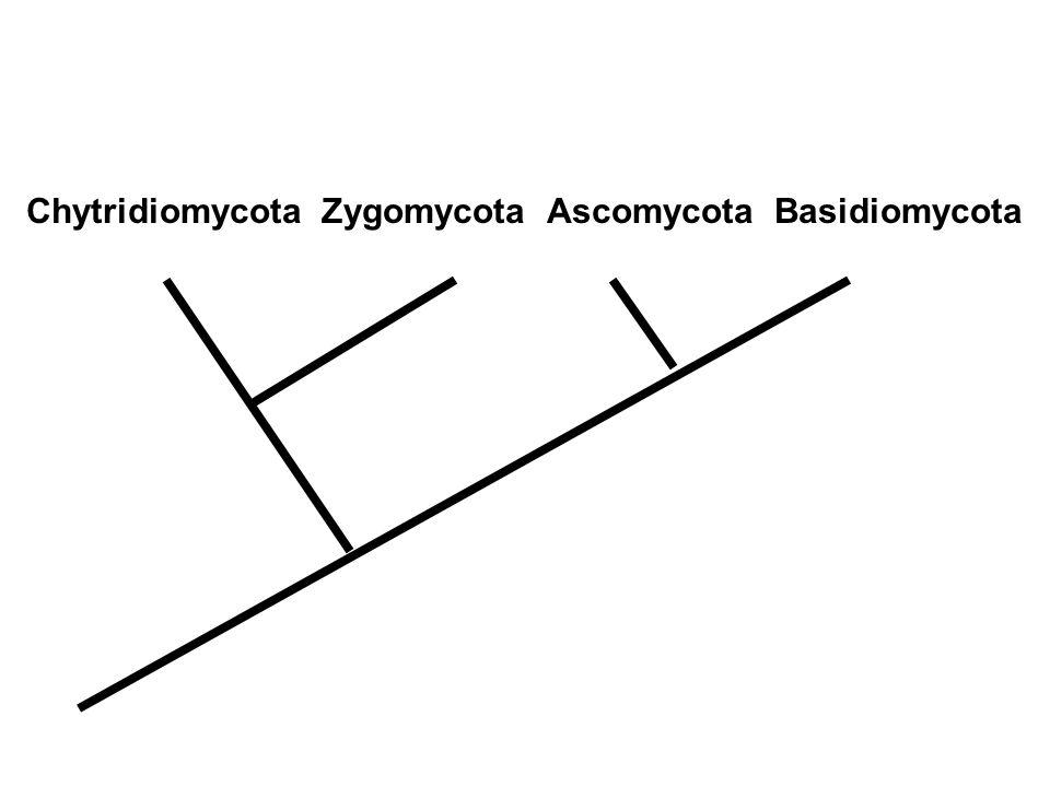 Chytridiomycota Zygomycota Ascomycota Basidiomycota