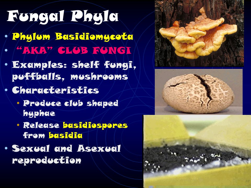 Fungal Phyla Phylum Basidiomycota AKA CLUB FUNGI Examples: shelf fungi, puffballs, mushrooms Characteristics Produce club shaped hyphae Release basidiospores from basidia Sexual and Asexual reproduction