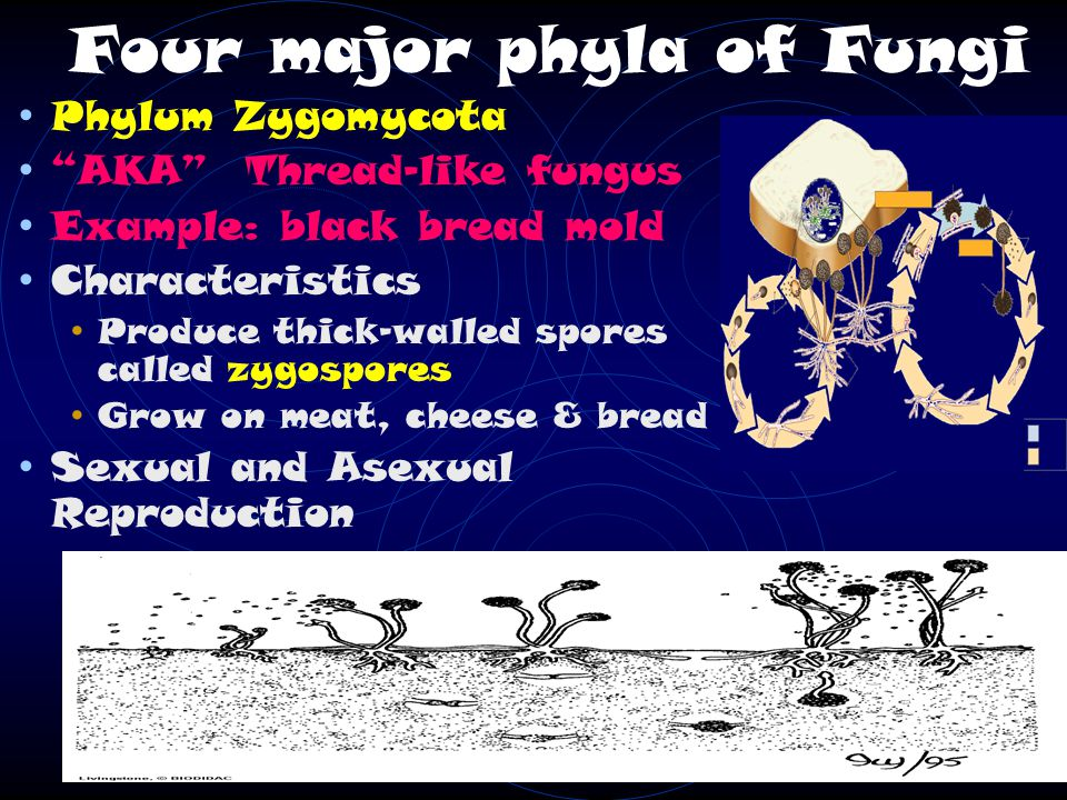 Four major phyla of Fungi Phylum Zygomycota AKA Thread-like fungus Example: black bread mold Characteristics Produce thick-walled spores called zygospores Grow on meat, cheese & bread Sexual and Asexual Reproduction