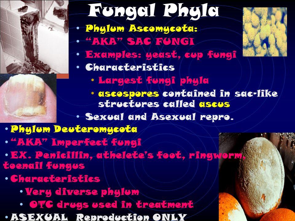 Fungal Phyla Phylum Basidiomycota AKA CLUB FUNGI Examples: shelf fungi, puffballs, mushrooms Characteristics Produce club shaped hyphae Release basidiospores from basidia Sexual and Asexual reproduction