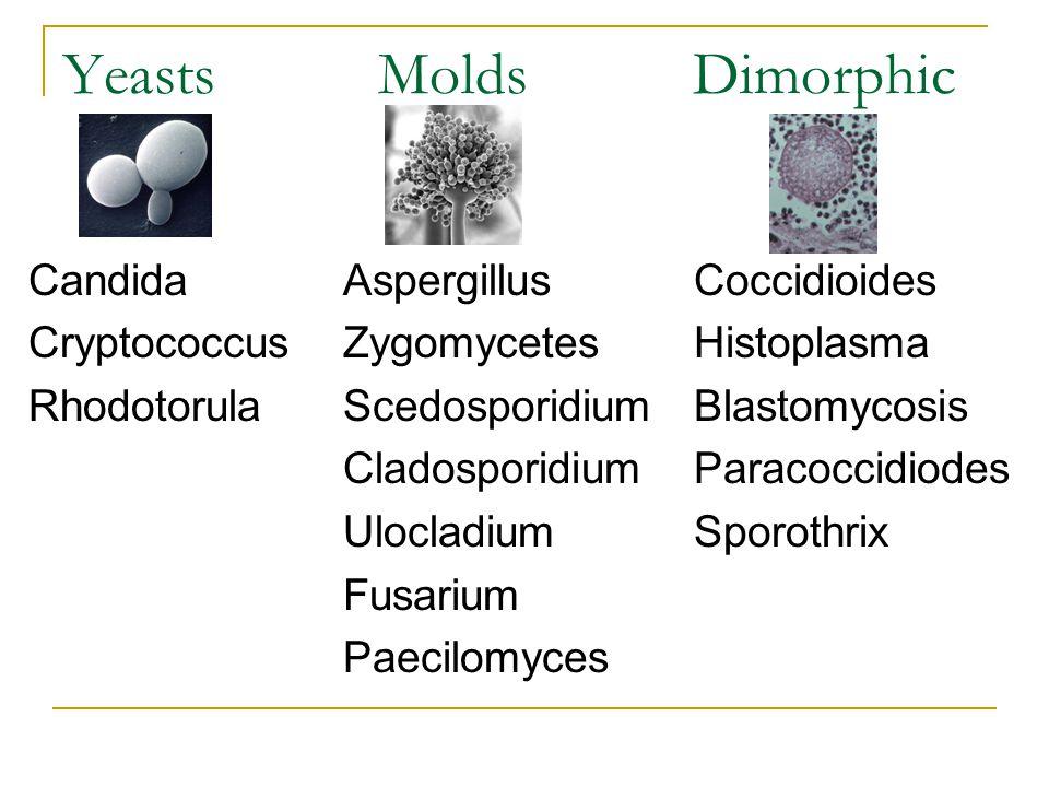 Yeasts Molds Dimorphic CandidaAspergillus Coccidioides CryptococcusZygomycetes Histoplasma RhodotorulaScedosporidium Blastomycosis Cladosporidium Para