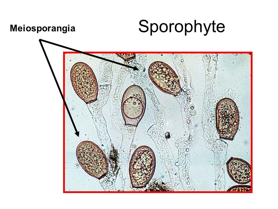 Sporophyte Meiosporangia