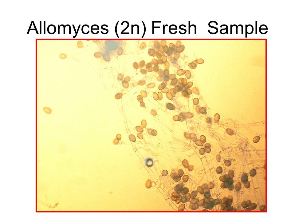 Allomyces (2n) Fresh Sample
