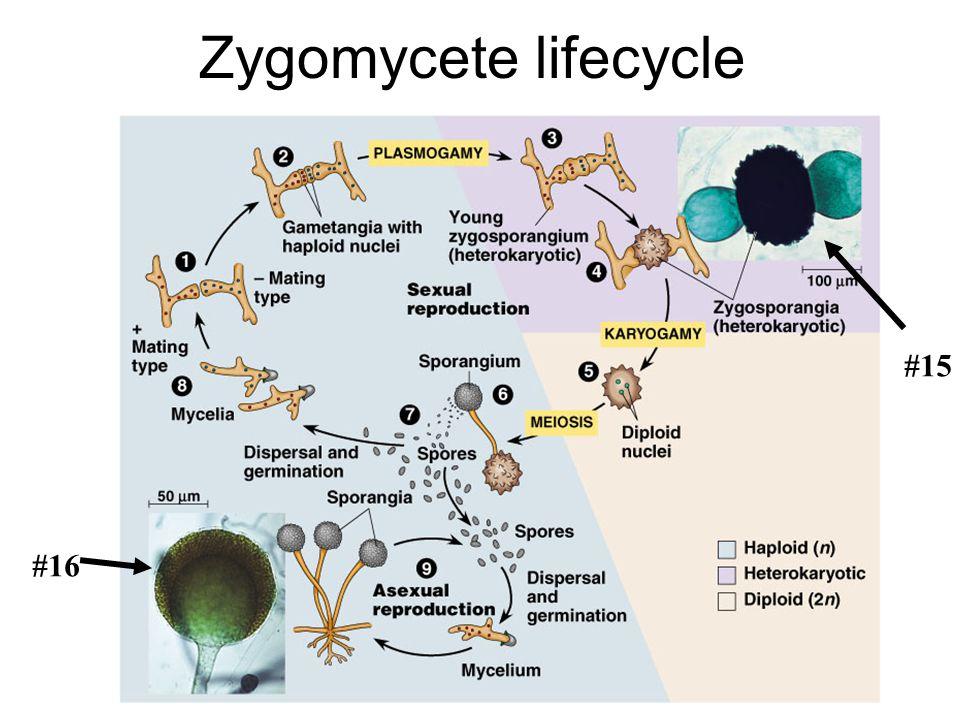 Zygomycete lifecycle #16 #15