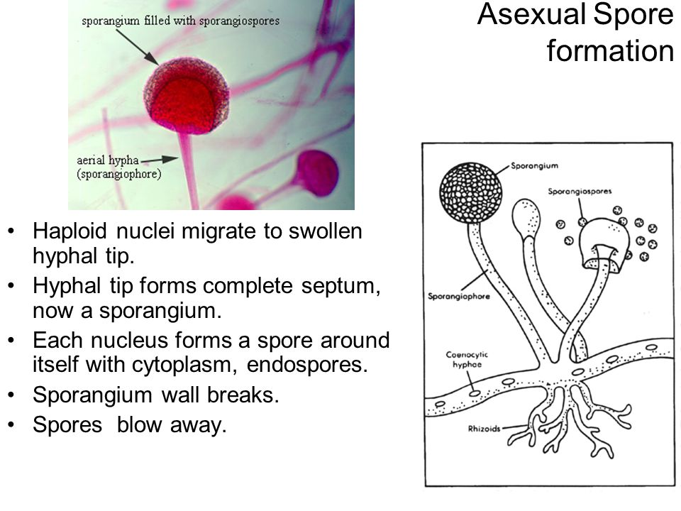 Asexual Spore formation Haploid nuclei migrate to swollen hyphal tip. Hyphal tip forms complete septum, now a sporangium. Each nucleus forms a spore a