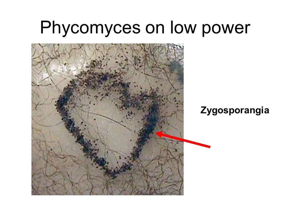 Phycomyces on low power Zygosporangia