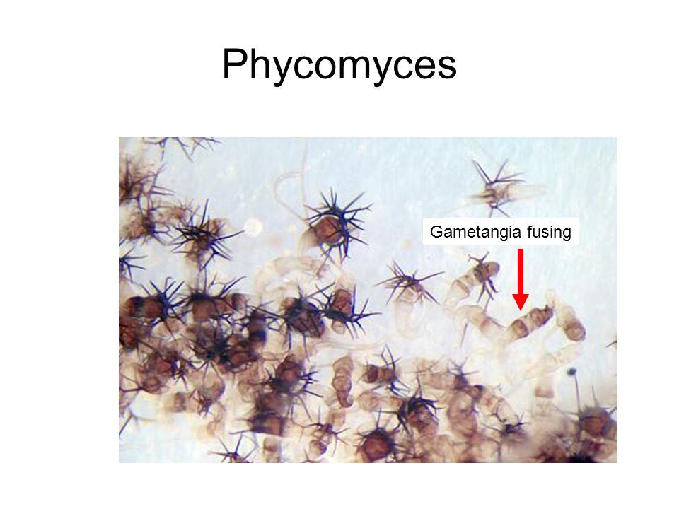 Phycomyces Gametangia fusing
