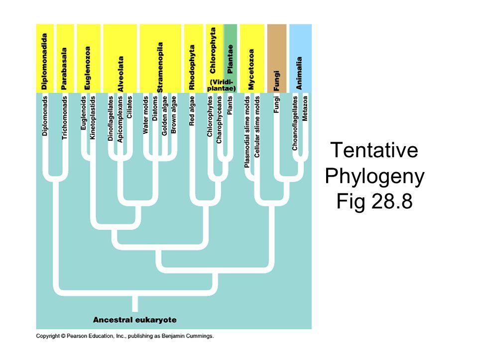 Tentative Phylogeny Fig 28.8