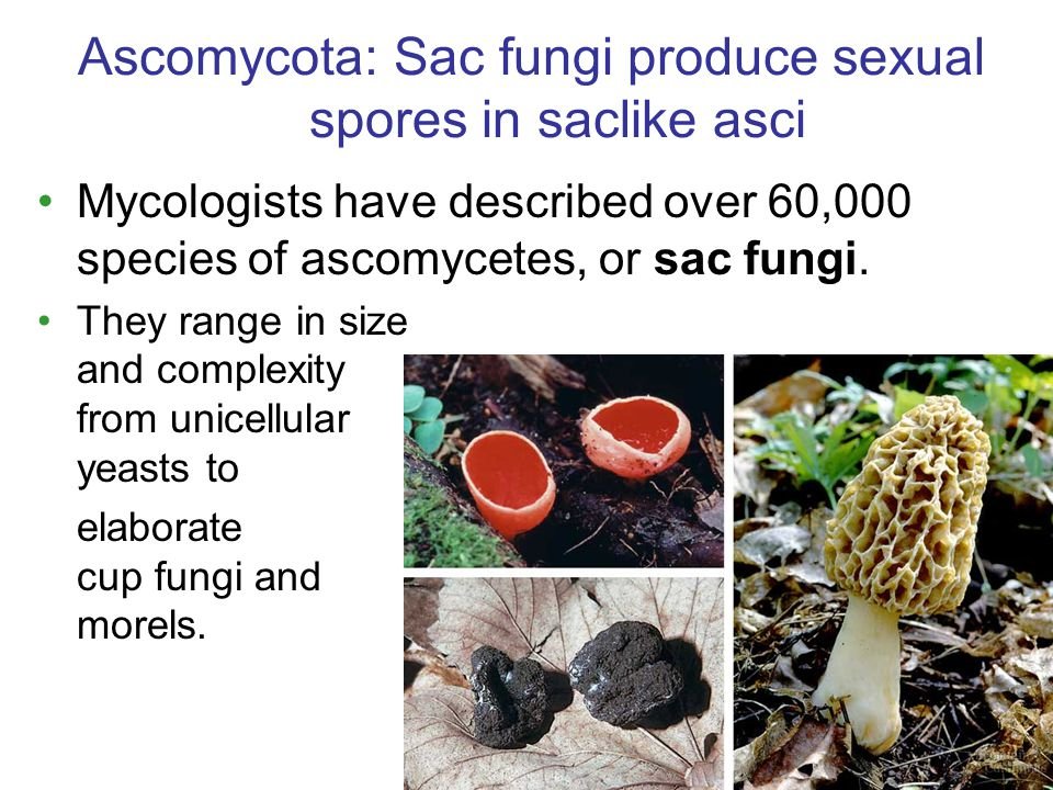 Mycologists have described over 60,000 species of ascomycetes, or sac fungi.