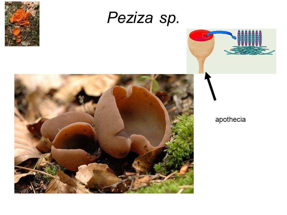 Peziza sp. apothecia