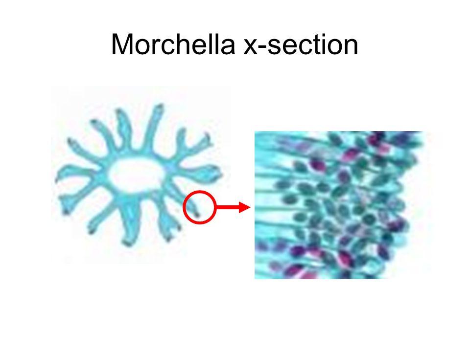 Morchella x-section