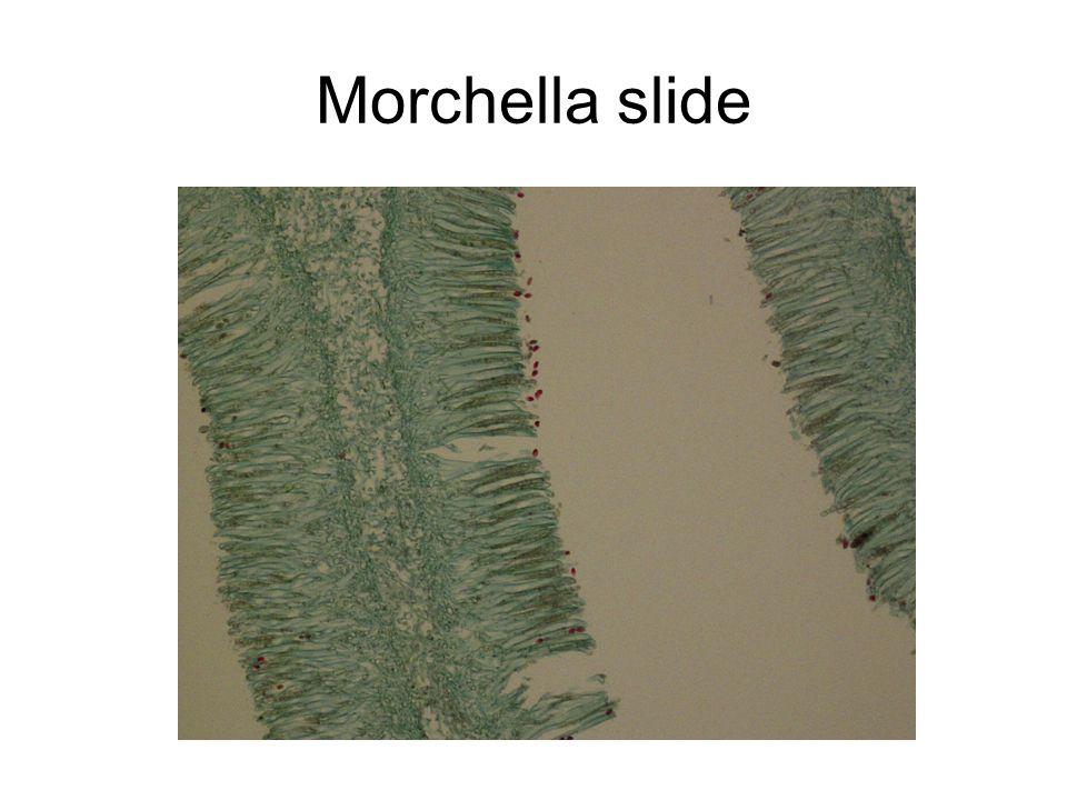Morchella slide