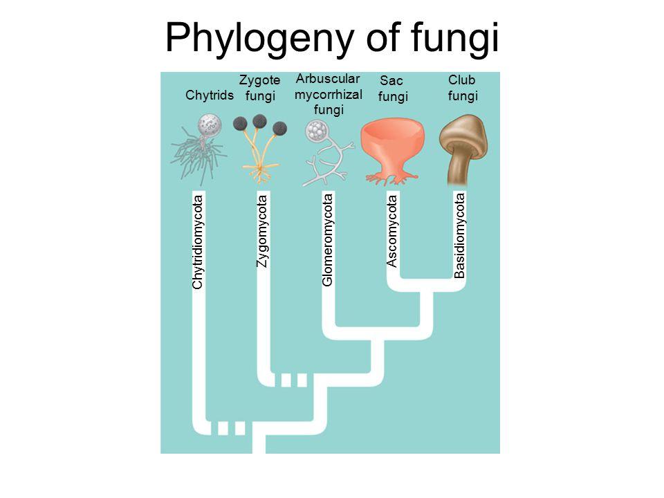 Phylogeny of fungi Chytrids Zygote fungi Arbuscular mycorrhizal fungi Sac fungi Club fungi Chytridiomycota Zygomycota Glomeromycota Ascomycota Basidiomycota