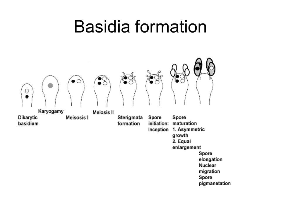 Basidia formation