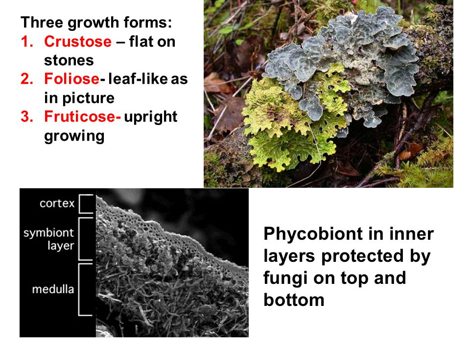 Three growth forms: 1.Crustose – flat on stones 2.Foliose- leaf-like as in picture 3.Fruticose- upright growing Phycobiont in inner layers protected b