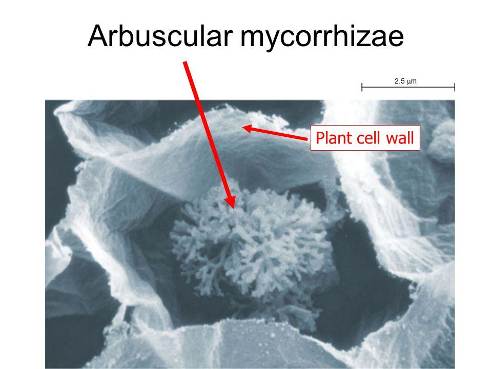 Arbuscular mycorrhizae 2.5  m Plant cell wall