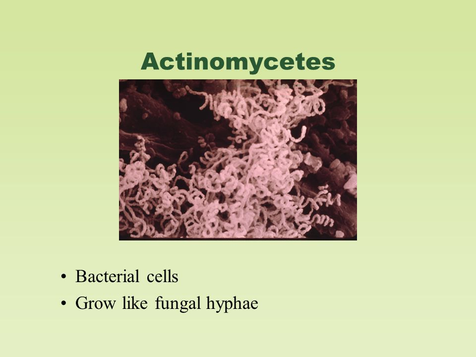 Actinomycetes Bacterial cells Grow like fungal hyphae