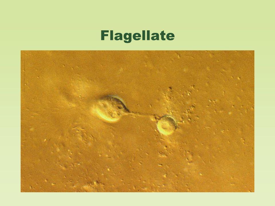 Flagellate