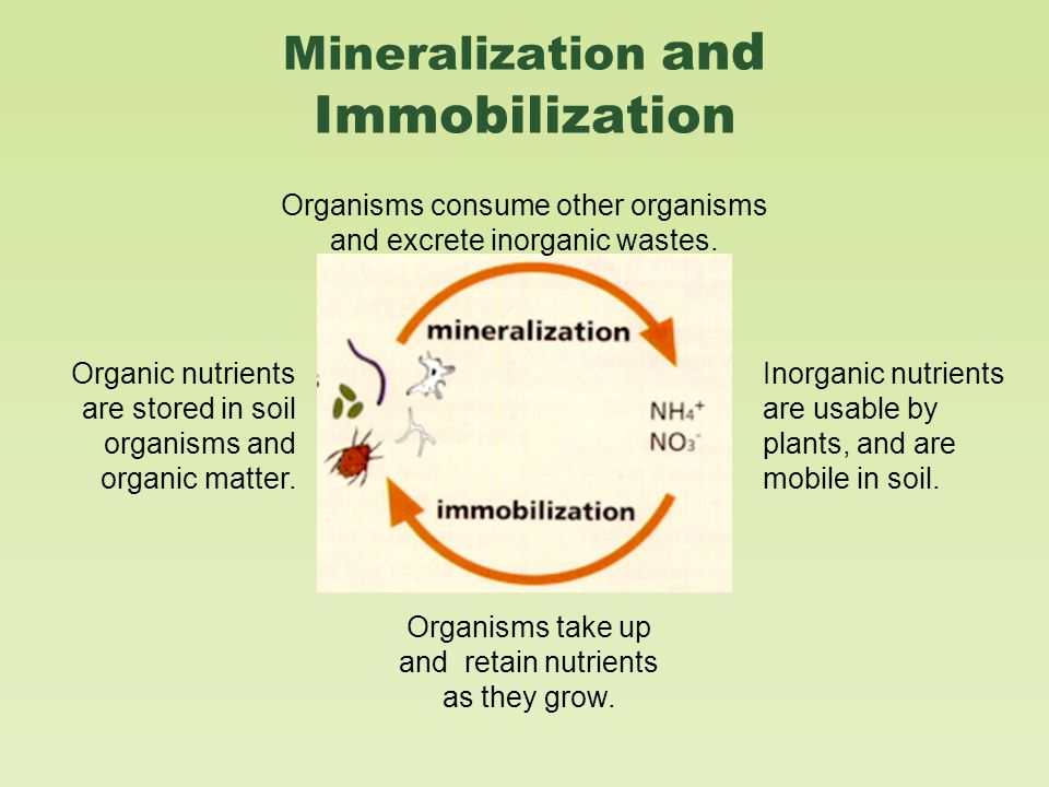 Mineralization and Immobilization Organisms consume other organisms and excrete inorganic wastes.