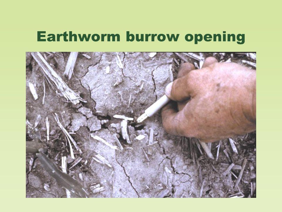 Earthworm burrow opening