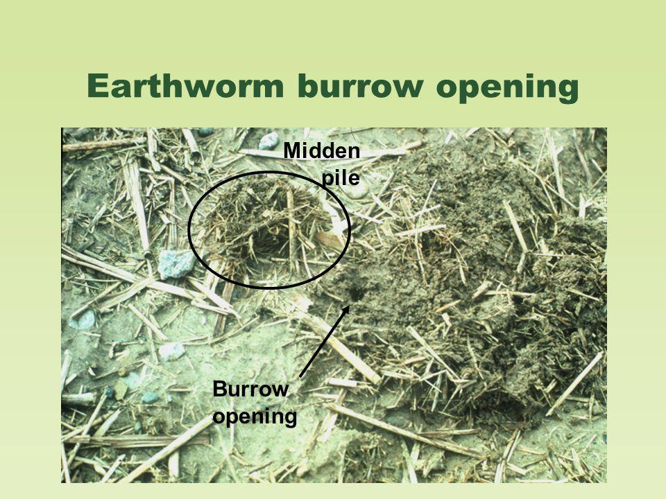 Midden pile Burrow opening