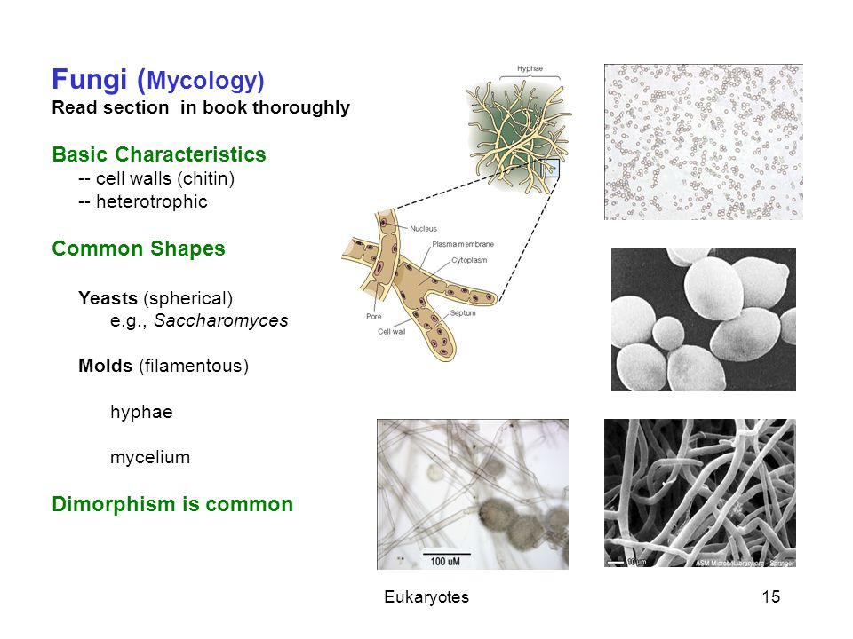 Eukaryotes15 Fungi ( Mycology) Read section in book thoroughly Basic Characteristics -- cell walls (chitin) -- heterotrophic Common Shapes Yeasts (sph