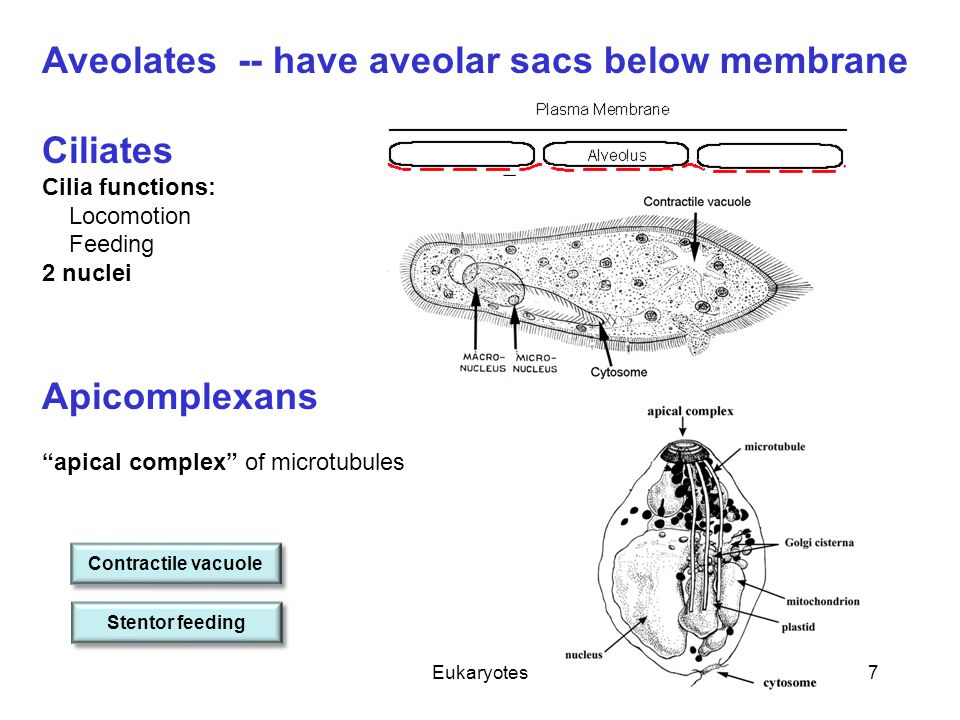 "Eukaryotes7 Aveolates -- have aveolar sacs below membrane Ciliates Cilia functions: Locomotion Feeding 2 nuclei Apicomplexans ""apical complex"" of micr"