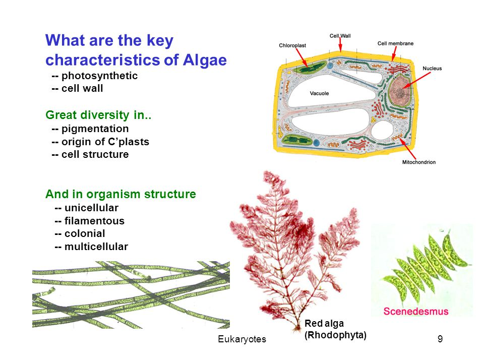 Eukaryotes9 What are the key characteristics of Algae -- photosynthetic -- cell wall Great diversity in.. -- pigmentation -- origin of C'plasts -- cel
