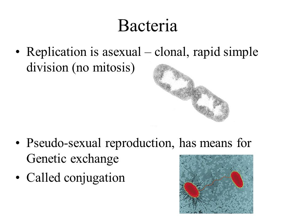 Bacteria Replication is asexual – clonal, rapid simple division (no mitosis) Pseudo-sexual reproduction, has means for Genetic exchange Called conjugation