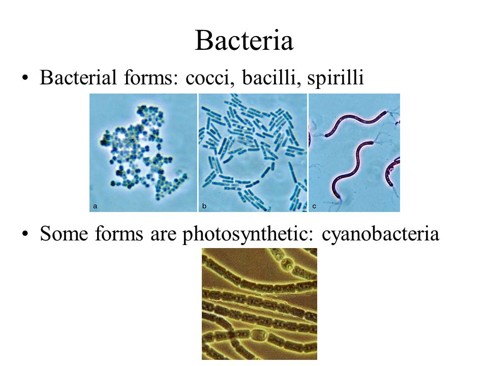 Bacteria Bacterial forms: cocci, bacilli, spirilli Some forms are photosynthetic: cyanobacteria