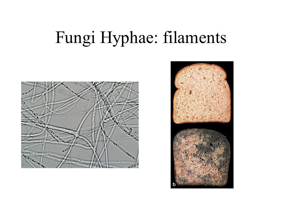 Fungi Hyphae: filaments