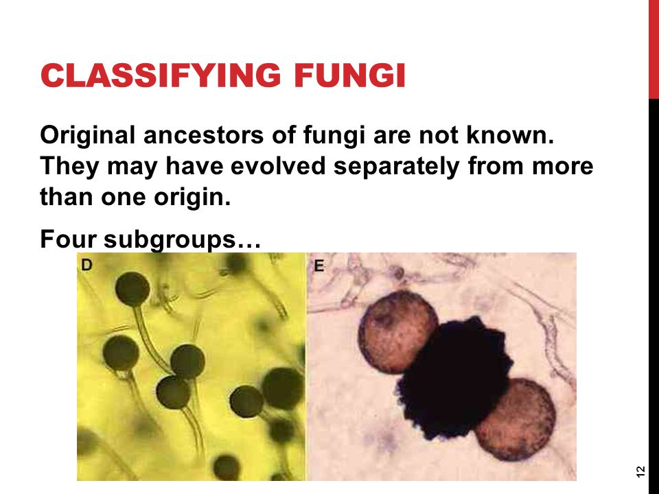 CLASSIFYING FUNGI Original ancestors of fungi are not known. They may have evolved separately from more than one origin. Four subgroups… 12