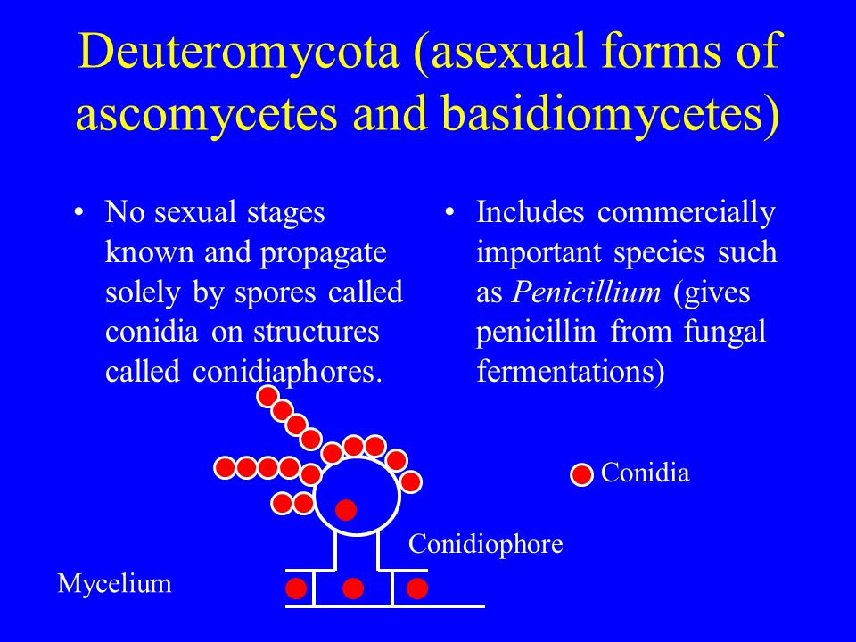 Deuteromycota (asexual forms of ascomycetes and basidiomycetes) No sexual stages known and propagate solely by spores called conidia on structures cal