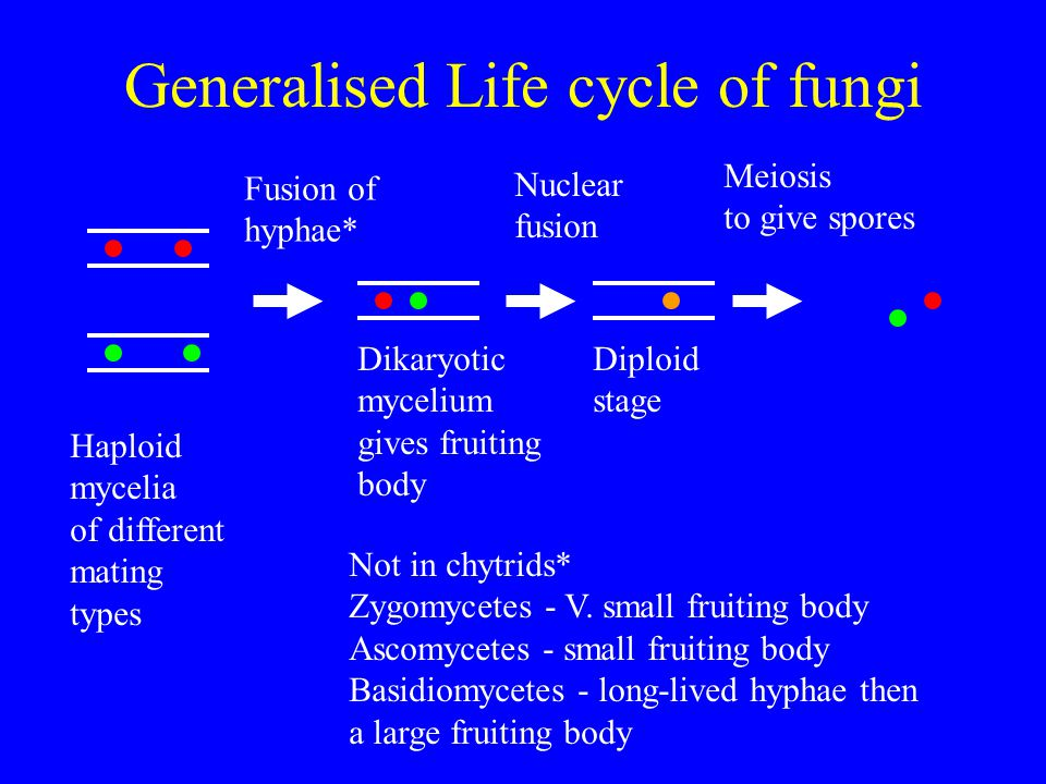 Generalised Life cycle of fungi Haploid mycelia of different mating types Fusion of hyphae* Dikaryotic mycelium gives fruiting body Nuclear fusion Dip