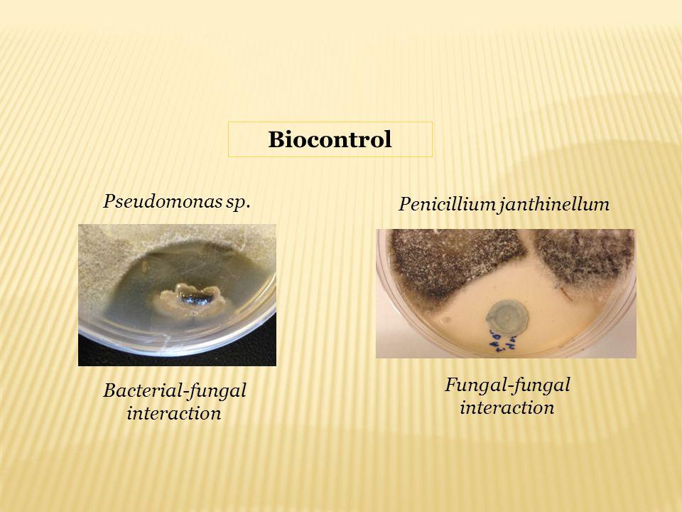 Biocontrol Pseudomonas sp. Penicillium janthinellum Bacterial-fungal interaction Fungal-fungal interaction