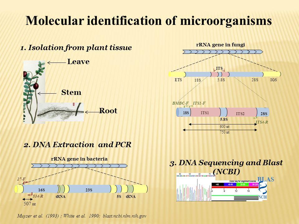tRNA 534-R 27-F 507 nt 5S tRNA 23S16S rRNA gene in bacteria BLAS T 2. DNA Extraction and PCR Muyzer et al. (1993) ; White et al. 1990; blast.ncbi.nlm.