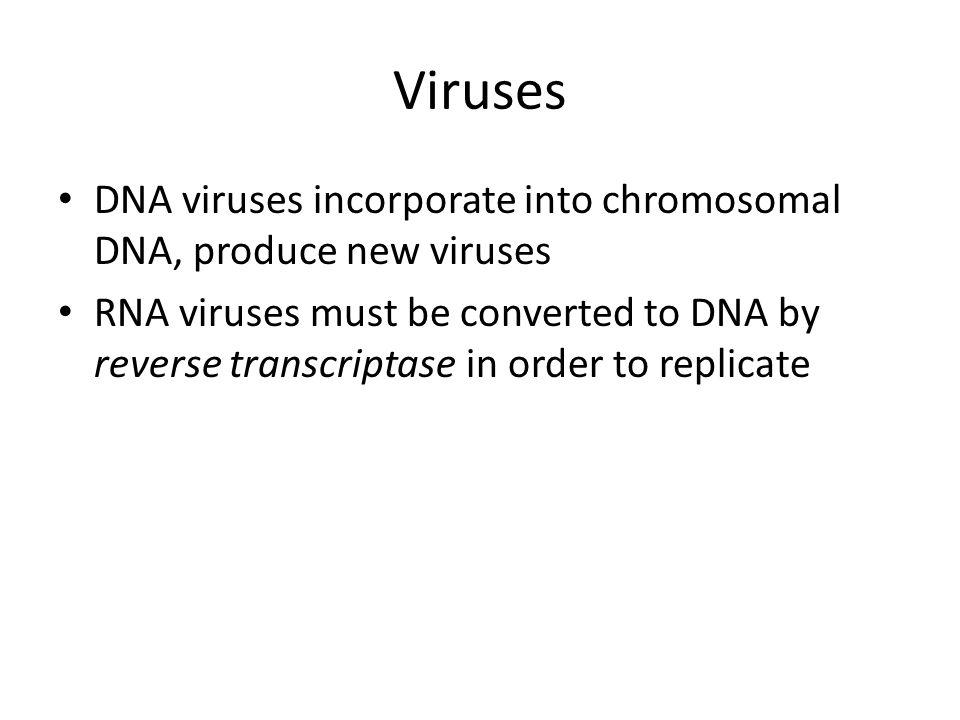 Viruses DNA viruses incorporate into chromosomal DNA, produce new viruses RNA viruses must be converted to DNA by reverse transcriptase in order to re