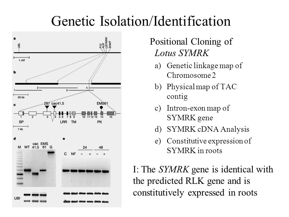 Genetic Isolation/Identification Positional Cloning of Lotus SYMRK a)Genetic linkage map of Chromosome 2 b)Physical map of TAC contig c)Intron-exon map of SYMRK gene d)SYMRK cDNA Analysis e)Constitutive expression of SYMRK in roots I: The SYMRK gene is identical with the predicted RLK gene and is constitutively expressed in roots