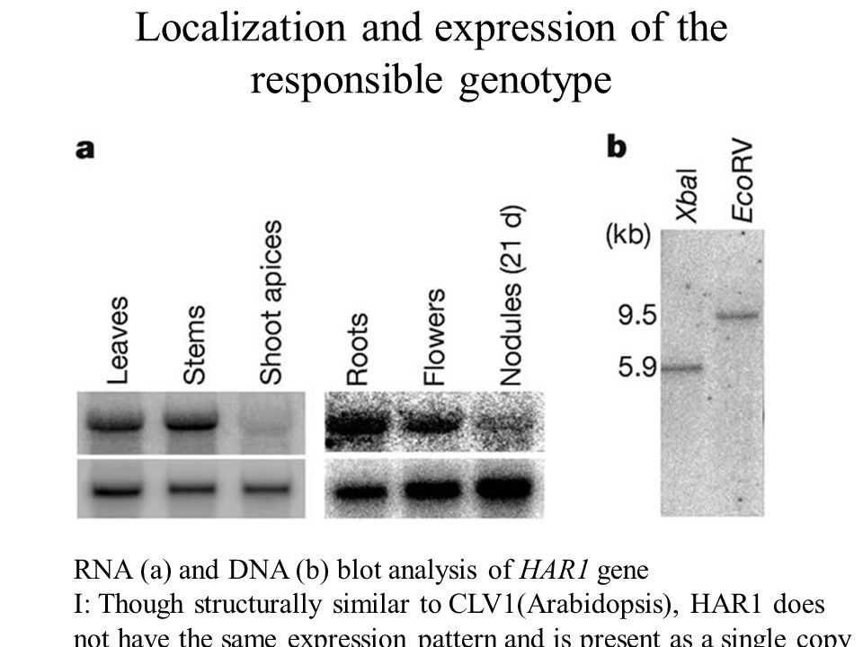 Localization and expression of the responsible genotype RNA (a) and DNA (b) blot analysis of HAR1 gene I: Though structurally similar to CLV1(Arabidopsis), HAR1 does not have the same expression pattern and is present as a single copy in the Lotus genome.